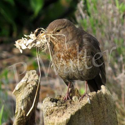 25.04.2016 : Amselweibchen mit Nestmaterial (bereits ihr zweites Nest, das erste wurde aufgegeben)