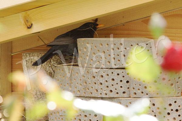 21.05.2014 : und in einer der Pausen hat das Männchen dann auch mal persönlich am Nest nach dem Rechten gesehen (es brütet nur das Weibchen)