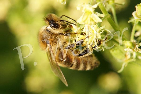 03.09.2014 : Honigbiene an der Gelben Resede