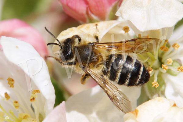 02.05.2016 : Weiße Bindensandbiene an einer Zierapfelblüte