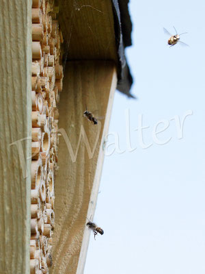 02.04.2014 : Patroullie der männlichen Rostroten Mauerbienen