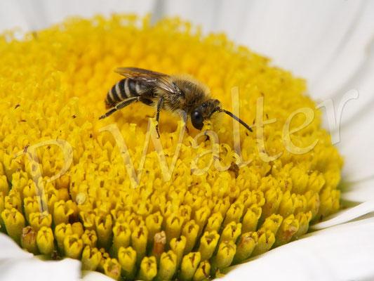 29.06.2016 : Seidenbiene (sehr wahrscheinlich) auf einer Margarite