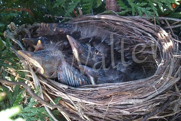 14.05.2015 : deutlich sind fünf Amselküken(schnäbel) zu erkennen (drei Tage später war das Nest WIEDER leer !!! Verdacht : Marder)