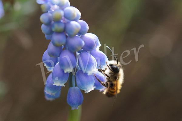 23.03.2014 : Männchen der Rostroten Mauerbiene