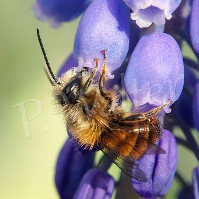 15.04.2018 : Rostrote Mauerbiene, Männchen, an einer Traubenhyazinthe