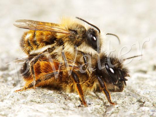 21.04.2015 : Pärchen der Rostroten Mauerbiene Osmia bicornis