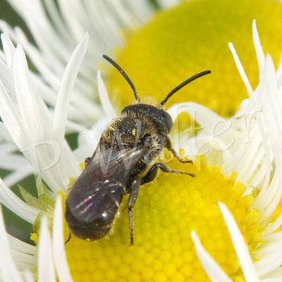 01.06.2018 : Löcherbiene auf den Blüten des Einjährigen Berufkraut
