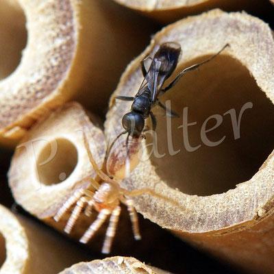06.07.2014 : Grabwespe derselben Art (evtl. auch eine Wegwespe) mit einer Spinne (evtl. eine Sackspinne ?)
