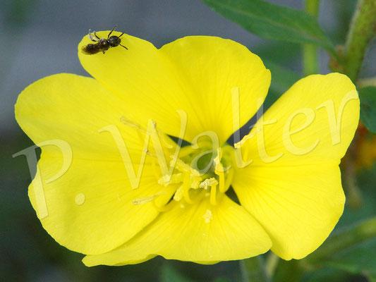 09-07.2016 : Furchenbiene an der Blüte einer Nachtkerze. Ja, diese Bienen sind sehr klein ...
