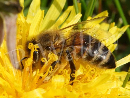 16.04.2016 : Honigbiene am Löwenzahn