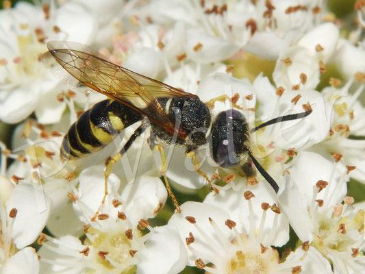 20.05.2018 : frühes Bienenwolfmännchen (?) am Feuerdorn