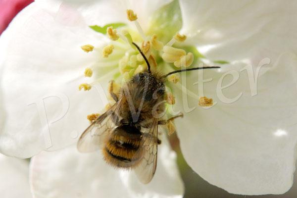 26.04.2015 : wahrscheinlich eine Rostrote Mauerbiene auf der Zierapfelblüte