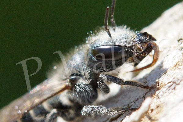 19.05.2014 : Stahlblaue Mauerbiene - Weibchen