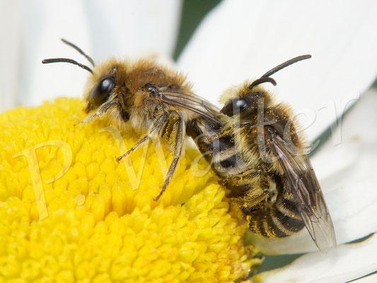 03.06.2017 : Seidenbienen bei der Paarung, auf einer Wiesenmargarite