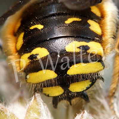 """31.07.2015 : Wollbienenhinterteil mit dem typischen Dreizack des Männchens (bis zu fünf """"Zacken"""", die hier gut zu sehen sind)"""