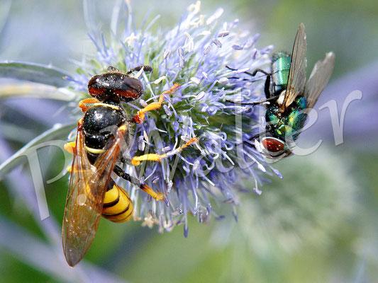 26.07.2017 : Bienenwolf an Distelblüte, Weibchen, mit Fliege zum Größenvergleich