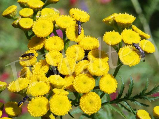 17.07.2017 : mehrere Keulhornwespe am Rainfarn (links eine Löcherbiene im Anflug)