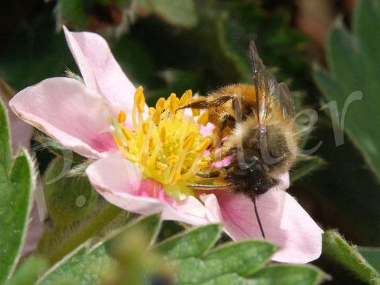 27.04.2018 : Rostrote Mauerbiene an einer Ziererdbeere