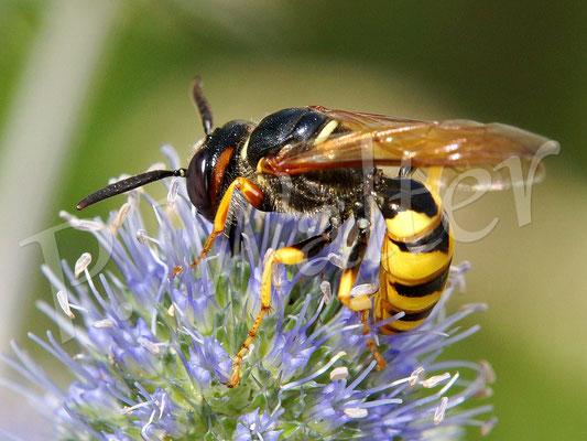 20.08.2016 : ein Bienenwolf an einer Distelblüte