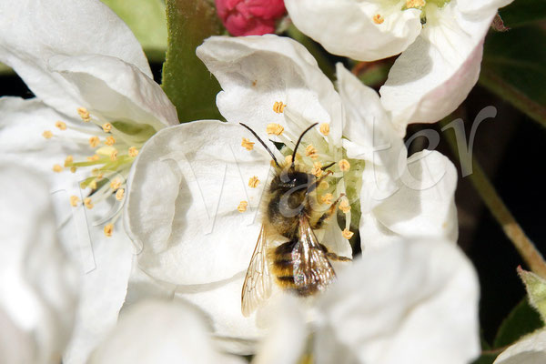02.05.2015 : Rostrote Mauerbiene auf einer Zierapfelblüte