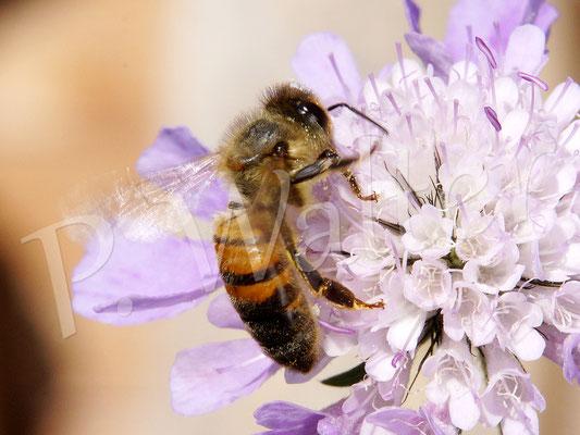 20.08.2017 : Honigbiene an einer Skabiosenblüte