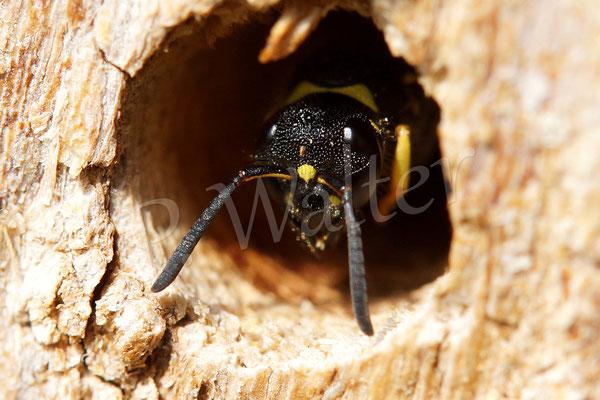 30.03.2014 : eine solitäre Faltenwespe in einem alten Nistholz (Robinie)