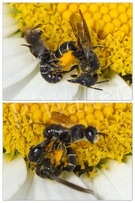 """29.06.2016 : Löcherbienenweibchen wurde beim Pollensammeln (Margerite) von dem kleineren Männchen """"belästigt"""", erstere weiß sich aber zu wehren, so dass der Kleine """"Fersengeld"""" gibt ..."""