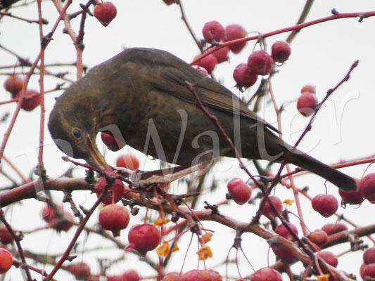 26.01.2019 : Amselweibchen frisst Zieräpfel