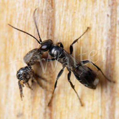 10.09.2017 : Wegwespe Dipogon spec. mit Spinnenproviant