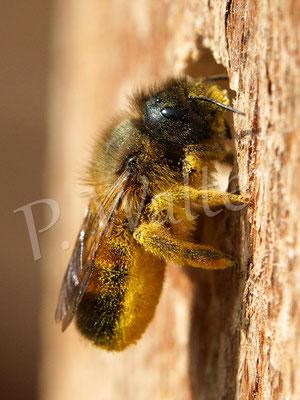 02.04.2014 : Weibchen der Rostroten Mauerbiene