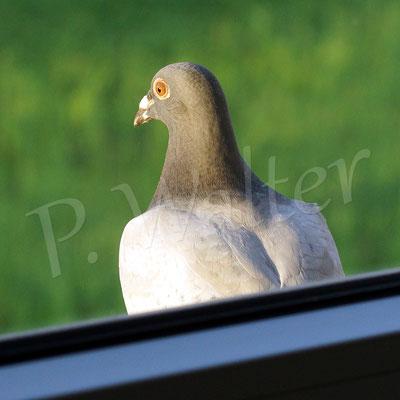 """03.08.2017 : eine """"normale"""" Taube hat bei uns auf einem Fensterbrett der ersten Etage übernachtet"""
