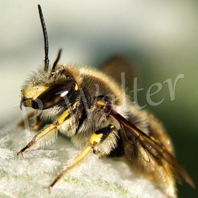 27.08.2014 : eine der letzten Wollbienen, immerhin seit Anfang Juni unterwegs, hier wieder ein Männchen