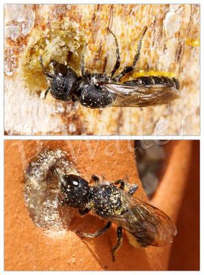 27.08.2016 : zwei Löcherbienen, die sich jeweils am Harzverschluss anderer Artgenossen mit Baumaterial bedienen ...
