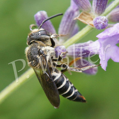 11.07.2015 : ein Kegelbienenweibchen am Lavendel