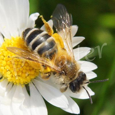 21.04.2016 : Weiße Bindensandbiene an einer Gänseblümchenblüte