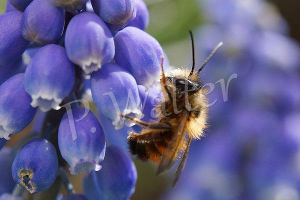 25.03.2014 : Männchen der Rostroten Mauerbiene