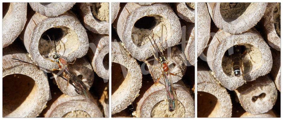 14.10.2017 : Schlupfwespe bringt erst ihren Legestachel in Position, um dann vorwärts in einen Mauerbienennistgang zu gehen