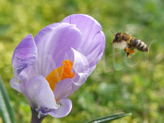 11.03.2017 : Honigbiene am Krokus