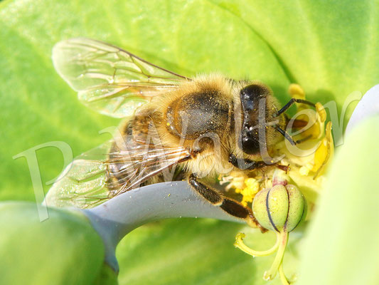 21.05.2016 : Honigbiene an der inneren,  offen liegenden Blüte der Kreuzblättrigen Wolfsmilch