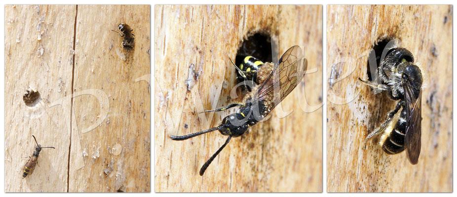 31.05.2015 : Hahnenfuß-Scherenbiene beim Nestverschluss, zwischendurch legt die stark mit Milben behaftete Keulhornwespe ihr Ei dazu