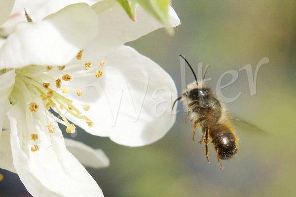 02.05.2015 : Rostrote Mauerbiene beim Anflug