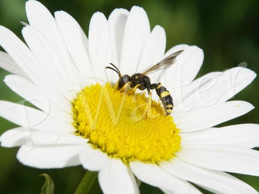 14.05.2020 : wahrscheinlich die Bienenjagende Knotenwespe, ungefähr 10 mm lang, auf der Wiesen-Margerite