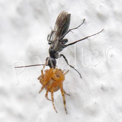 06.07.2014 : eine Tönnchenwegwespe (Auplopus carbonarius) zieht eine kleine Gartenkreuzspinne die Hauswand hoch