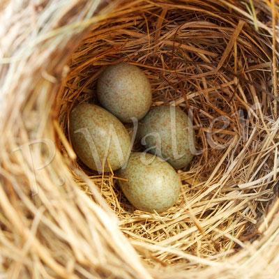 23.05.2014 : kurze amselfreie Zeit genutzt, um die vier Eier mit Hilfe eines Spiegels zu fotografieren (leider haben ein paar Tage später die Elstern das Nest geplündert ...)