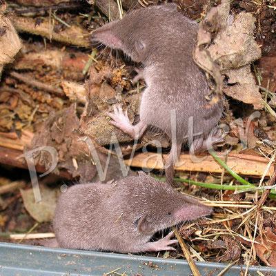 17.10.2011 : zwei der drei jungen Spitzmäuse wieder zurück im Komposter