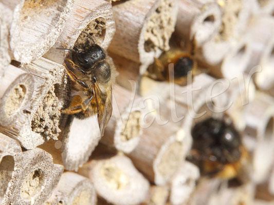 29.04.2018 : Rostrote Mauerbiene verschließt ihren Nistgang (im Hintergrund auch eine Gehörnte Mauerbiene)