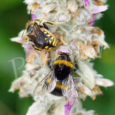 01.07.2017 : im Gegensatz zu den Wollbienen fliegen die Hummeln auch bei Regen von Büte zu Blüte
