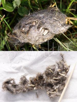 08.06.2015 : im Rasen lag ein Gewölle mit Mäuseresten ...