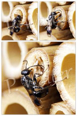 18.07.2014 : Grabwespe (evtl. auch eine Wegwespe) beim Verschließen einer Brutröhre