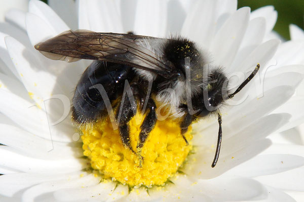 18.04.2015 : Sandbiene, wohl Andrena cineraria
